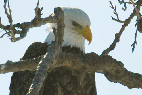 A Bald Eagle near Keokuk. Photo by Macomb Paynes, Flickr