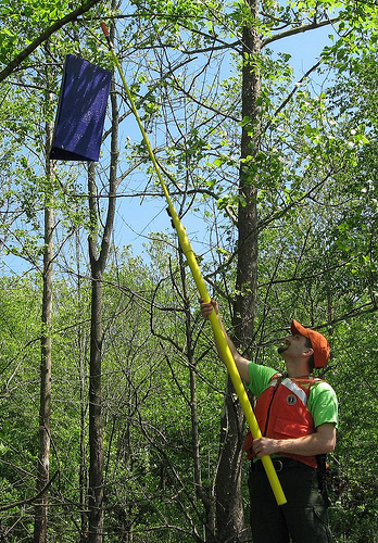 The purple bag is a trap for the Emerald Ash Borer. Photo by USDAgov, Flickr.