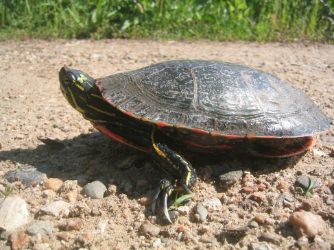 Iowa Considering Turtle Harvest Season