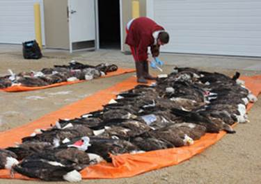 Researchers found 168 dead bald eagles in the upper Mississippi area for a lead exposure study. (Contributed photo)