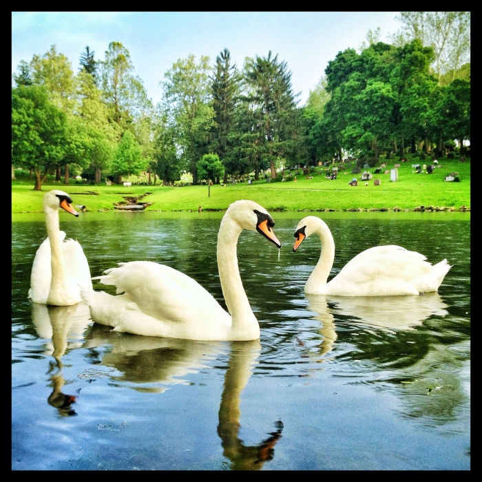 Swans swim on a pond near Forest Cemetery in Oskaloosa. (Aaron McIntyre/Fickr)