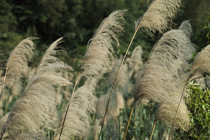 Miscanthus shows increasing promise as a viable biomass crop in Iowa.  (Aikawa Ke/Flickr)
