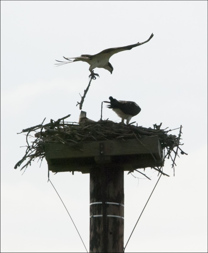 An osprey nest at a northwest Iowa nature center. (Evan Bornholtz/Flickr)