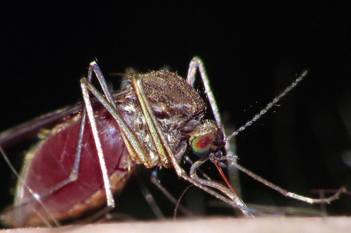 Infected mosquitoes can transmit the Chikungunya virus to humans (Gustavo Fernando Durán/Flickr)