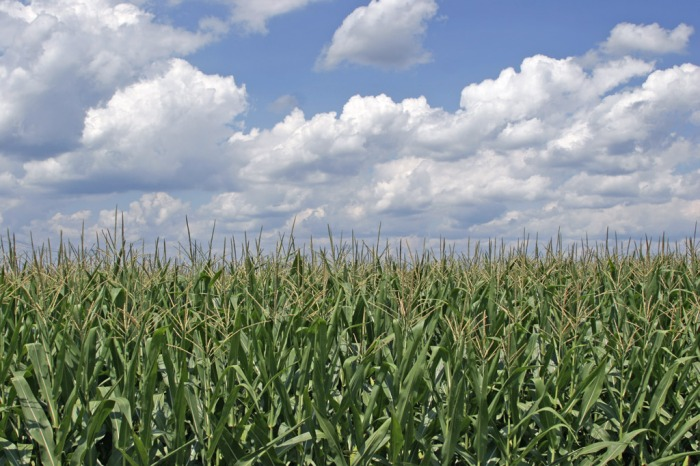 Corn_field_ohio