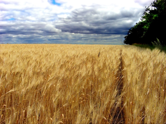 A wheat field in Southern Saskatchewan, Canada. (Evan Leeson/Flickr)