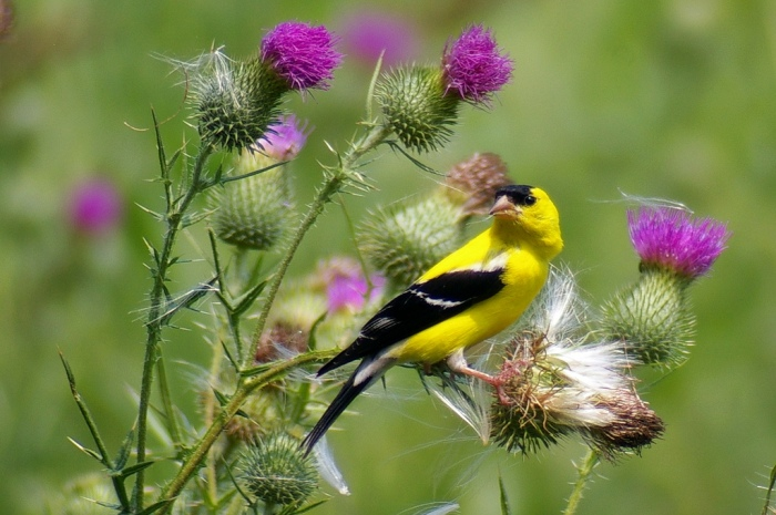 An American Goldfinch perched on a thistle plant in Ohio (Jen Goellnitz/Flickr)