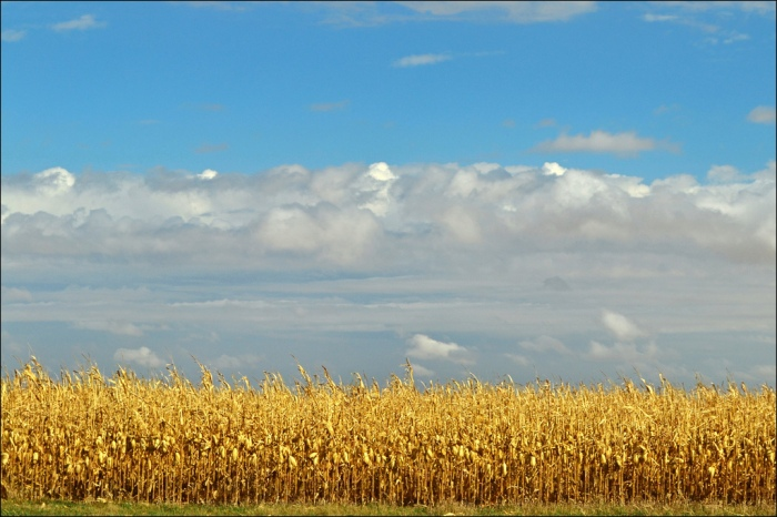 A corn field in Pomeroy, Iowa. (keeva999/Flickr)