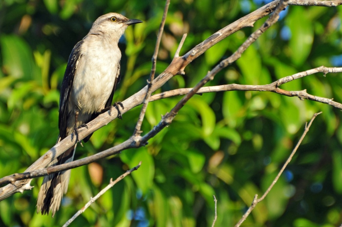 A mockingbird perched on a branch in Mexico. (Dennis Jarvis/Flickr)