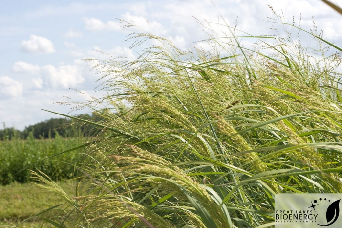 Panicum virgatum - commonly known as switchgrass - is native to Iowa and other parks of the Midwest. (Great Lakes Bioenergy Research Center/Flickr)