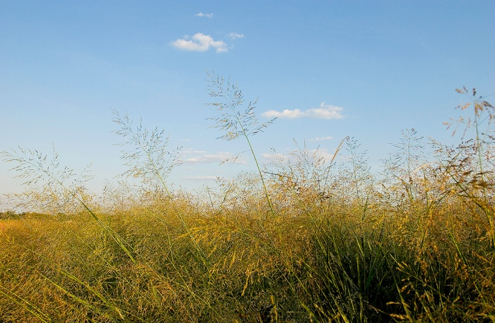 Switchgrass is an example of a biomass source grown and harvested in Iowa. (Noble Foundation/Flickr)