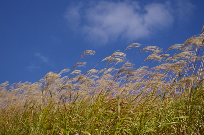 Miscanthus is a perennial tall grass grown and burned as an eneergu source on the UI campus. (Wikimedia Commons)