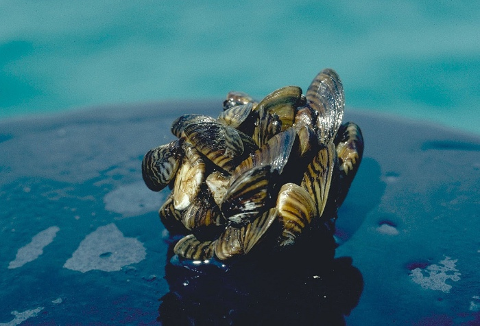 A zebra mussel cluster (D. Jude, Univ. of Michigan). Zebra mussels are known to attach to hard surfaces like pipes and even other mussels, including native species.