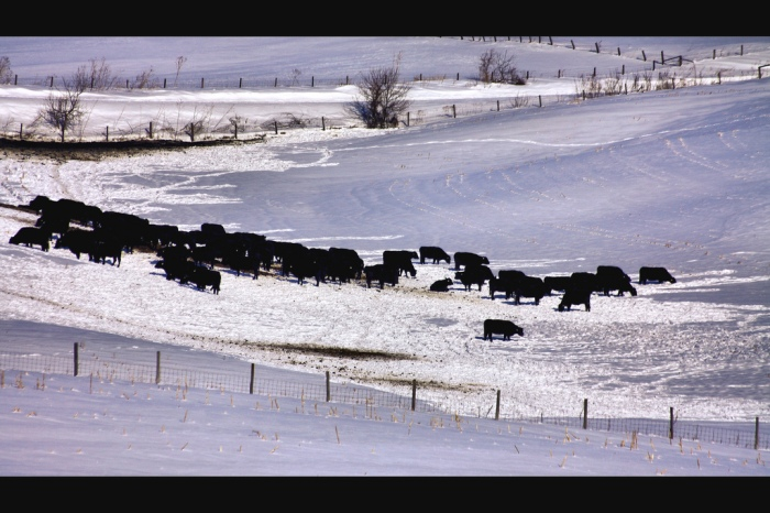 Cattle in the snow near Monmouth, Iowa (Phil Roeder/Flickr)