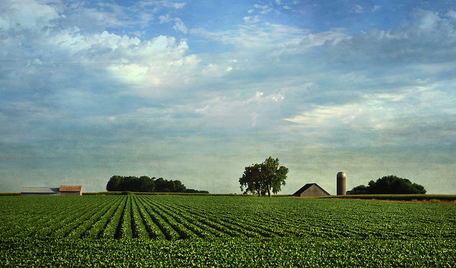 Soybeans grow on a farm in northwest Iowa. (TumblingRun/Flickr)