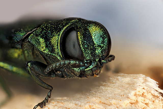 The emerald ash borer was discovered on the University of Iowa campus this week. (Macroscopic Solutions/Flickr)