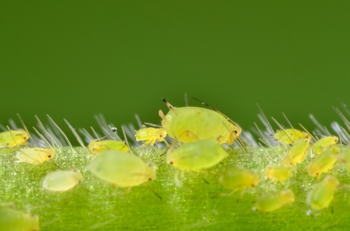 An Iowa State University researcher is studying ways to combat soybean aphids, such as those pictured here. (Matt Kaiser/Iowa State University News Service)