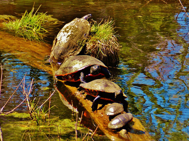 Painted turtles bask in the sun on this log near Pasadena, Maryland. ()