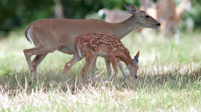 deer_doe_and_fawn_1