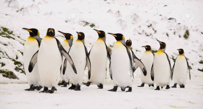4329513-king-penguins-marching-together