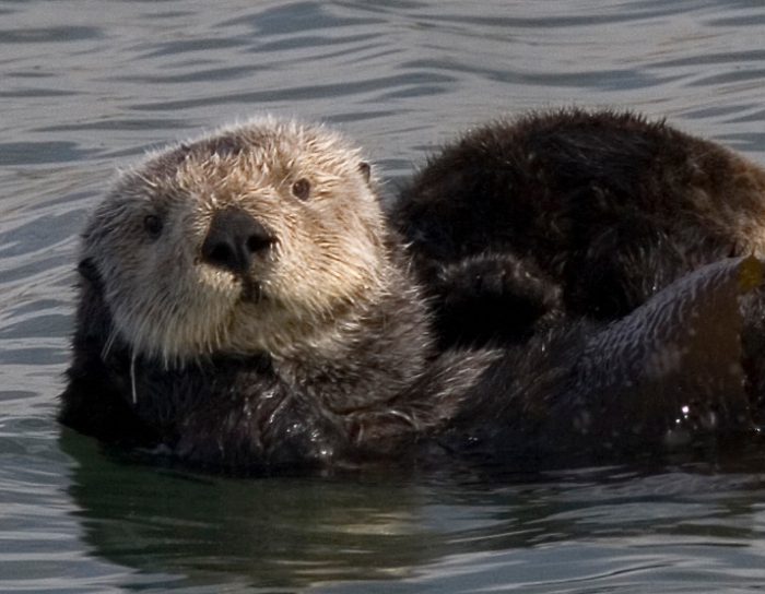 Sea_otter_cropped