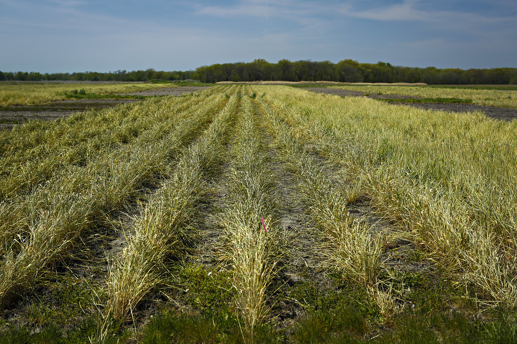 ISU research complicates cover crops